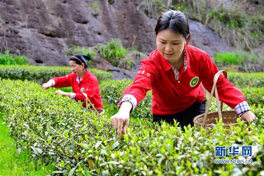 福建武夷山:采摘春茶