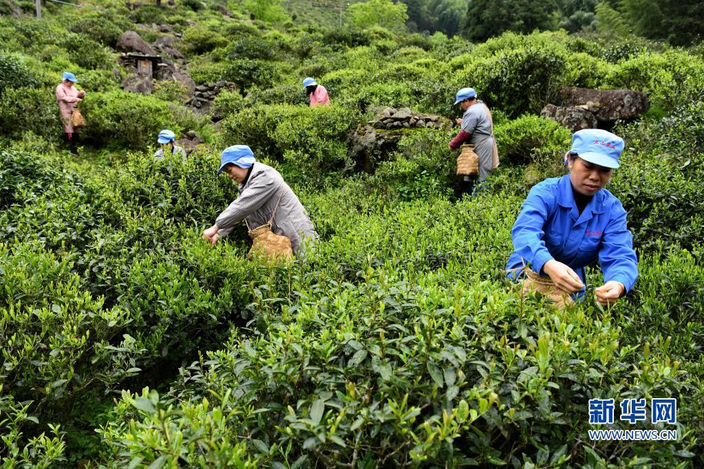 福建武夷山:红茶之乡采茶忙